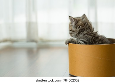 Lonely persian kitten play arond paper box in home.