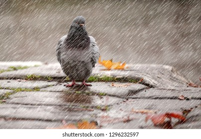 Lonely pigeon bird standing on the rain as a concept of loneliness, depression and gloom.