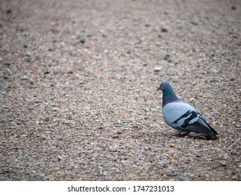 Lonely pigeon on the ground in the park - Shutterstock ID 1747231013