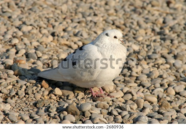 Lonely pigeon on pebble surface