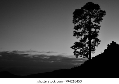 Lonely pine backlit at nightfall, Pilancones, Gran canaria, black and white, Canary islands