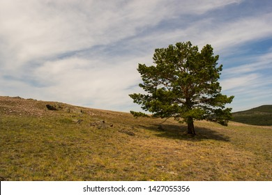 A lonely pine in a field against the sky. A lonely pine against a blue sky with running clouds. A lonely pine on a hill. A lone pine tree growing on top of a small hill with spring grass