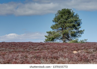 Lonely, the pine rises over the heath, which glows red in the spring sunshine.