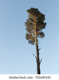 Lonely pine tree in beautiful evening sun