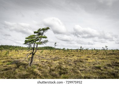 Lonely pine tree on a prairie in the north with wildflowers and grass in cloudy weather
