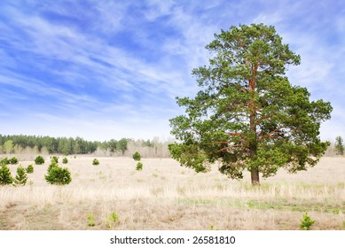 Lonely pine tree in steppe