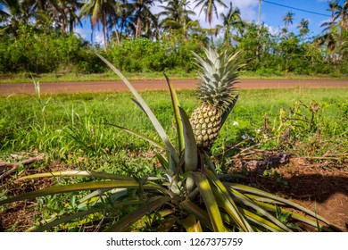 A lonely pineapple growing on a roadside of an rural road, in the island of Uvea (Wallis), Wallis and Futuna (Wallis-et-Futuna), Polynesia, Oceania, South Pacific Ocean. French overseas collectivity