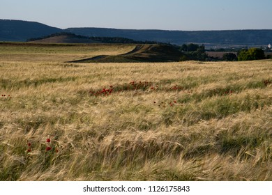 Lonely poppies in the field