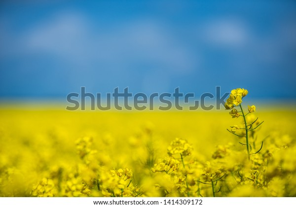 Lonely rapeseed flower rises up from rapeseed fields in front of blue sky