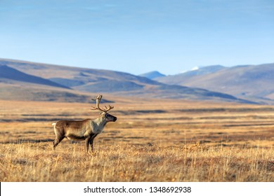 Lonely reindeer in the tundra. Beautiful vast valley among the hills far from civilization. Arctic nature. Chukotka, Siberia, Far East of Russia. Extreme North. Place for text.
