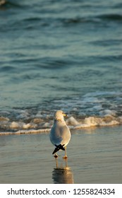 A lonely ring-billed gull standing on a south Texas beach.