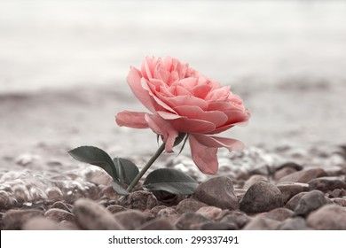 lonely rose flower at the stony beach, soft water background