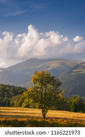 Lonely rowan tree at meadow in Carpathian Mountains