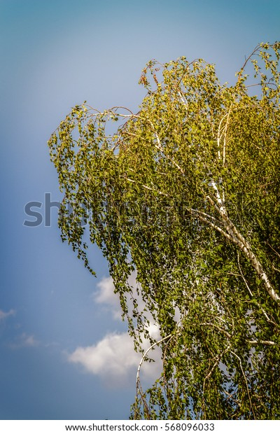 Lonely Russian birch in summer against a blue sky.