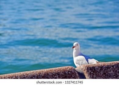 Lonely seagull standing near Harbour Bridge in Sydney, Australia.Concept about freedom and loneliness with copy space for designed-work.Nature Background.Wildlife Australian Animal.