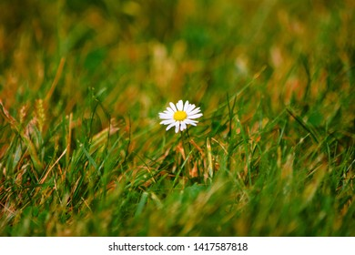 A lonely shasta daisy flower in green grass