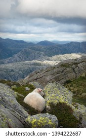 Lonely sheep is sleeping in the rocks in the highlands in Norway one summer day. Kjerag mountain. Norway.