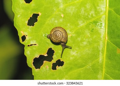 Lonely Snail on green leaf with holes, eaten by pests