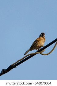 lonely sparrow on the electric wire with sky