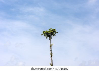 Lonely spruce high against the blue sky, background