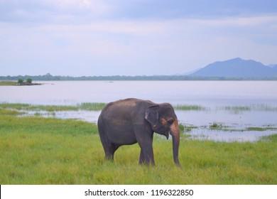 Lonely Sri Lankan Elepant