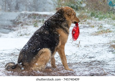 Lonely stray sad german shepherd dog with red present bag without friend under strong snowflake in cold winter day