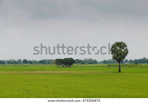 Lonely sugar palm tree standing in rice field ,Chumsaeng Thailand.when it has some fruit the owner will come for sugar juice by climbing and slit at the fruits that hanging on  or sell young fruits