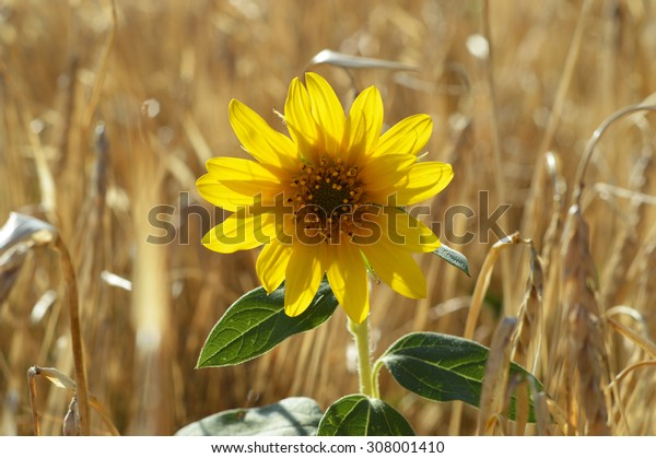a lonely sunflower on a field of grain