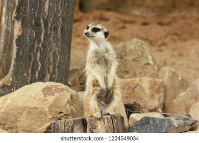 Lonely suricata standing and watching around on stony background