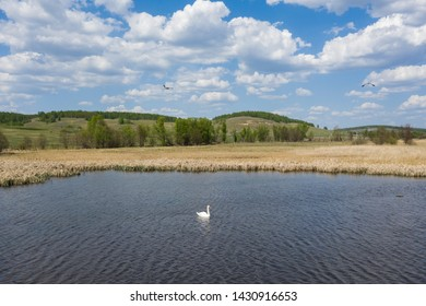 Lonely swan swimming in the lake near the reeds with blue cloudy sky