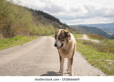 lonely thirsty dog on a car-free mountain road with trees in the background and pasture land