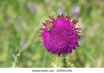 Milk Thistle Supplements For Weight Loss, Weight Loss