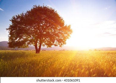 Lonely tree against a blue sky at sunset. summer landscape with a lone tree at sunset barley field in the village