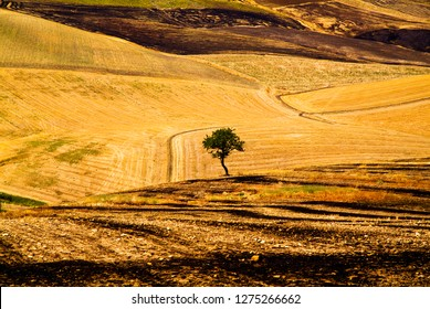 Lonely tree among the stubble, Apulia, Italy