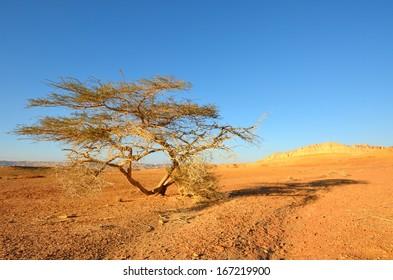 Lonely tree in the desert. Southwestern Arabah, Israel.