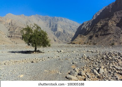 Lonely tree in the dry wash of Wadi Ghalilah, Emirate of Ras Al Khaimah, United Arab Emirates.