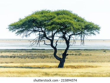 Lonely tree in Etosha National Park - Namibia, South-West Africa