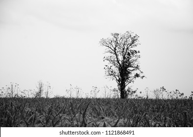 lonely tree in field in black and white concept