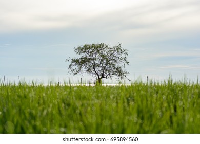 Lonely tree in lake with rice field foreground