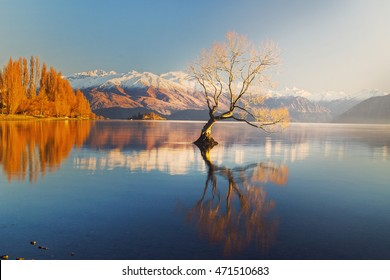 The Lonely tree of Lake Wanaka, South Island, New Zealand, at the morning light and the snow clad Buchanan Peaks at the Backdrop ..