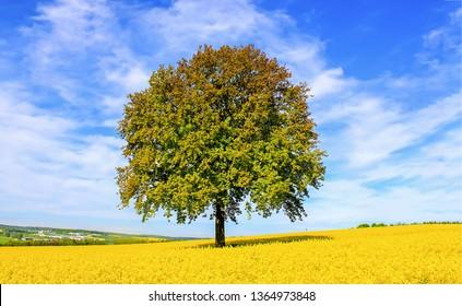 Lonely tree in meadow yellow flowers field landscape. Yellow meadow flowers lonely tree. Lonely tree at meadow yellow flowers. Lonely tree in yellow meadow flowers landscape