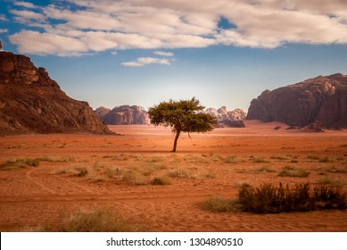 Lonely tree in the middle of the desert of Wadi Rum in Jordan, Middle East