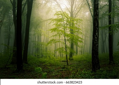 Lonely tree in misty forest