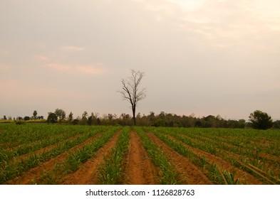 lonely tree on field