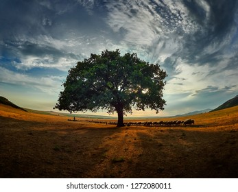 lonely tree on field at dawn, Dobrogea, Romania