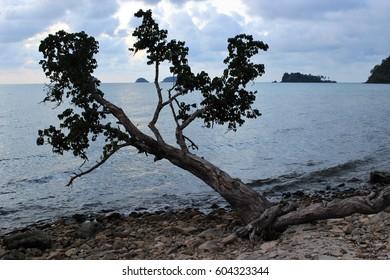 Lonely tree on a stony shore, Koh Chang Island Thailand