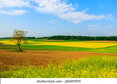 Lonely tree on yellow rapeseed flower field and blue sky, Burgenland, southern Austria