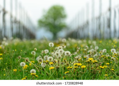 a lonely tree seen from a vineyard with grass and flowers