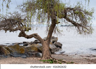 lonely tree - a small tree on the edge of Rio Del Plata, keeping its history and life
