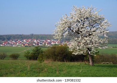Lonely tree  in springtime in Germany